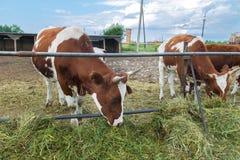 在绿色农场的母牛 图库摄影