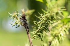 在绿色分支的大蚂蚁,在蚜虫附近 库存照片