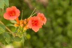 在绿色分支的小红色花 库存照片