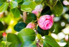 在绿色分支的山茶花桃红色头状花序在明亮的阳光下 免版税库存图片