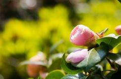 在绿色分支的山茶花桃红色头状花序在明亮的阳光下 库存照片