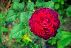 在绿色分支的红色玫瑰 库存照片