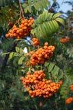 在绿色分行的许多花楸浆果果子hungs 免版税库存照片