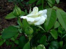 在绿色叶子中增长的美丽的白色玫瑰 库存图片