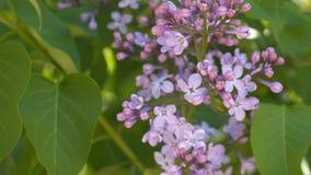 在绿色叶子中的开花的丁香 库存照片
