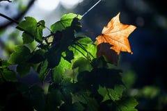 在绿色叶子之间的第一片黄色秋天叶子 免版税库存图片