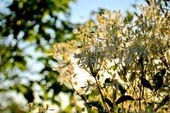 在绿色叶子和天空蔚蓝被弄脏的背景的铁线莲属小白花  免版税库存图片