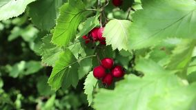 在绿色叶子晴朗的关闭的红色野生莓果录影 影视素材