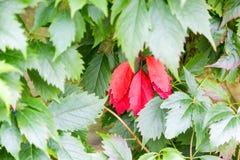 在绿色叶子的一些片红色叶子 库存照片