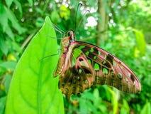 在绿色叶子的一只特别美丽的蝴蝶 免版税库存图片