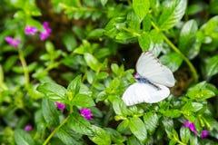 在绿色叶子的一只白色蝴蝶 图库摄影