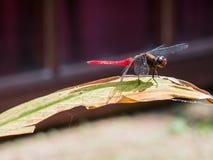 在绿色叶子的一只红色蜻蜓 免版税库存图片