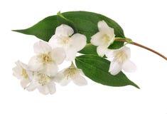 在绿色叶子的七朵茉莉花花 免版税库存照片