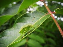 在绿色叶子的唯一palomena prasina 库存图片