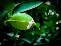 在绿色叶子的大白色飞蛾 库存图片