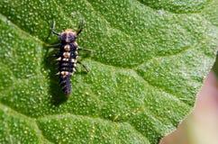在绿色叶子的小的昆虫 库存图片