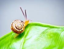 在绿色叶子的小的蜗牛 库存照片