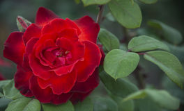在绿色叶子的明亮的红色玫瑰 库存照片