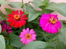 在绿色叶子的桃红色花 库存照片