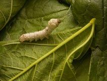 在绿色叶子的桑蚕 免版税库存图片