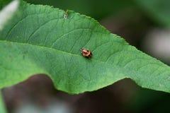 在绿色叶子的橙色和黑昆虫 库存图片