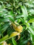 在绿色叶子的毛虫 免版税库存照片
