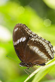 在绿色叶子的特写镜头蝴蝶 免版税库存图片