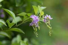 在绿色叶子的紫色花 这射击夺取了在Rama第9朴国王在曼谷泰国 库存照片