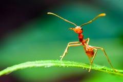 在绿色叶子的红色蚂蚁立场 库存图片