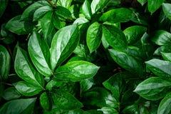 在绿色叶子的背景 库存照片