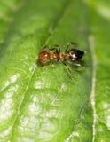 在绿色叶子的蚂蚁本质上 特写镜头 图库摄影