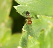 在绿色叶子的蚂蚁本质上 特写镜头 库存照片