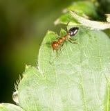 在绿色叶子的蚂蚁本质上 特写镜头 免版税库存照片