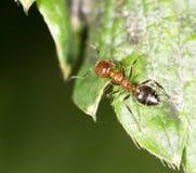 在绿色叶子的蚂蚁本质上 特写镜头 库存图片