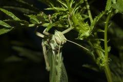 在绿色叶子的蚂蚱在晚上 免版税库存图片