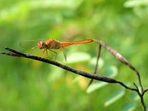 在绿色叶子的蜻蜓 免版税图库摄影