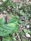 在绿色叶子的蝗虫昆虫 图库摄影