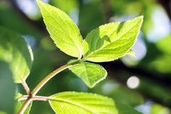 在绿色叶子的阳光在春天 图库摄影