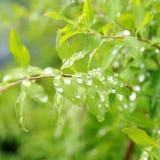 在绿色叶子的雨下落。 免版税库存图片
