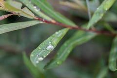 在绿色叶子的雨珠在一个夏天以后下雨 图库摄影