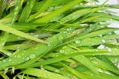 在绿色叶子的露水小滴 免版税库存照片
