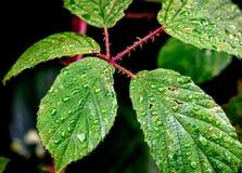 在绿色叶子的露水 免版税库存图片
