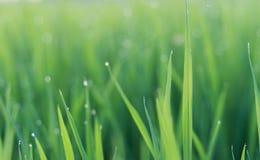 在绿色叶子的露水 免版税库存照片