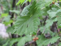 在绿色叶子的露水 免版税图库摄影