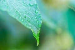 在绿色叶子的露水 库存照片