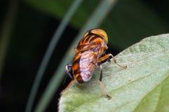 在绿色叶子的Hoverfly 免版税库存照片