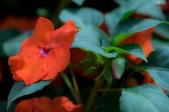 在绿色叶子的Impatiens FlowersOrange颜色有紫色花粉的 免版税库存图片