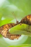 在绿色叶子的Oakleaf 图库摄影
