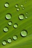 在绿色叶子的Waterdrops 库存照片