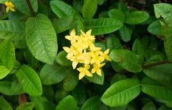 在绿色叶子背景前面的黄色花 免版税图库摄影